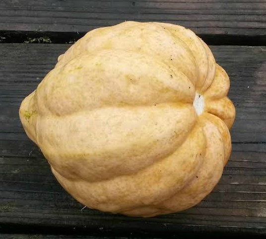 Click to enlarge Thelma Sanders Acorn Shaped Squash Papa Bear Size (2 to 3 pounds)