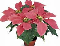 Click to enlarge Poinsettia, Pink - Small