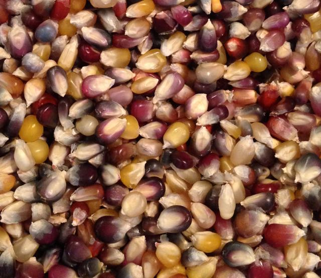 Click to enlarge Cherokee Long Ear Popcorn Blend