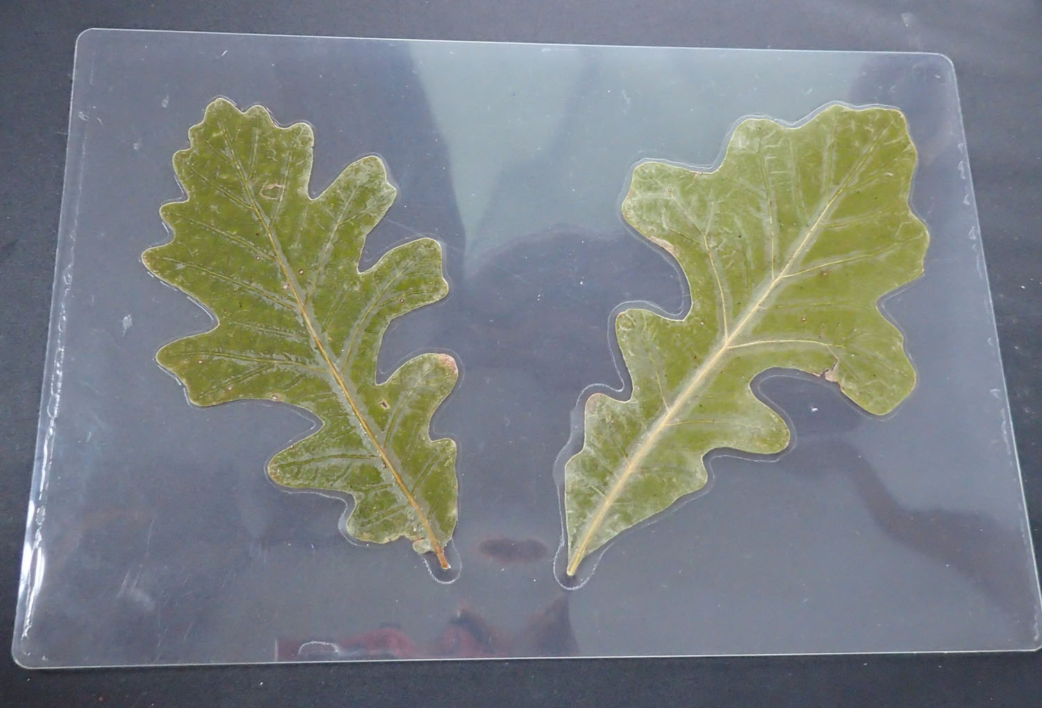 Click to enlarge Two Bur Oak Leaf small mat