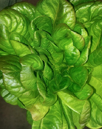 Click to enlarge Green leaf butter lettuce head