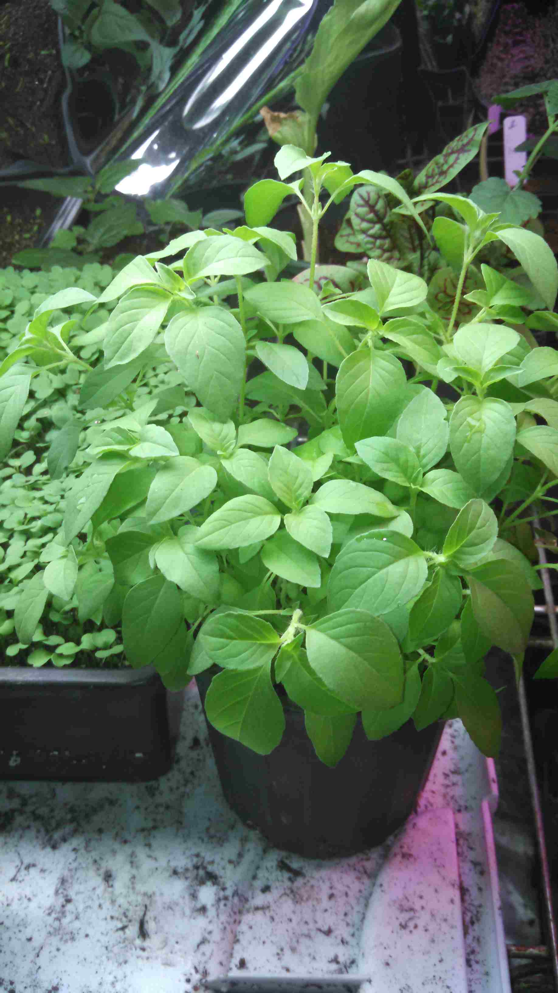 Click to enlarge Lime Basil