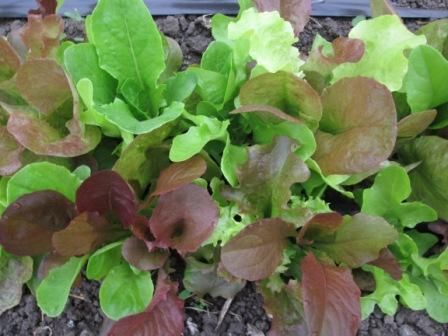 Click to enlarge Lettuce Mix Rocky Top