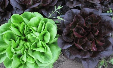 Click to enlarge Red & Green Lettuce Salanova rosettes SALE