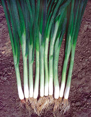 Click to enlarge Green Garlic Bunches