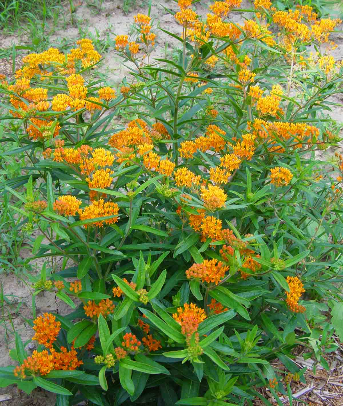 Click to enlarge Butterfly Milkweed (Asclepias tuberosa)