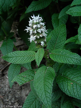 Click to enlarge Hairy Wood Mint (Blephilia hirsuta)