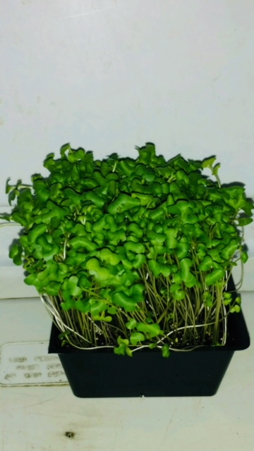 Click to enlarge Live Broccoli Microgreens