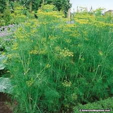 Click to enlarge Dill Plant