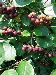 Click to enlarge Aroniaberry Plant