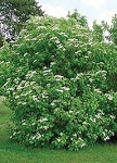 Click to enlarge Highbush Cranberry Tree