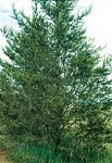Click to enlarge Jack Pine Tree