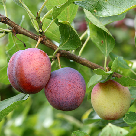 Click to enlarge Methley Plum Tree