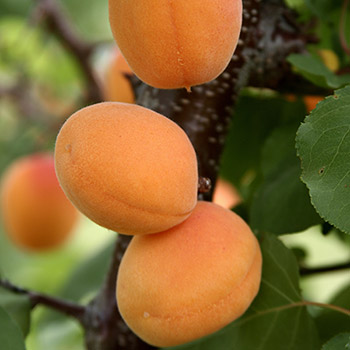 Click to enlarge Moorpark Apricot Tree