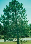 Click to enlarge Red Pine Tree