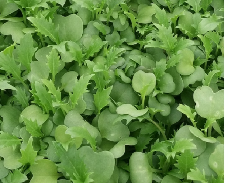Click to enlarge Green Mustard shoots