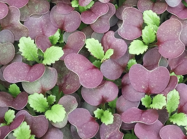 Click to enlarge Red Mustard shoots