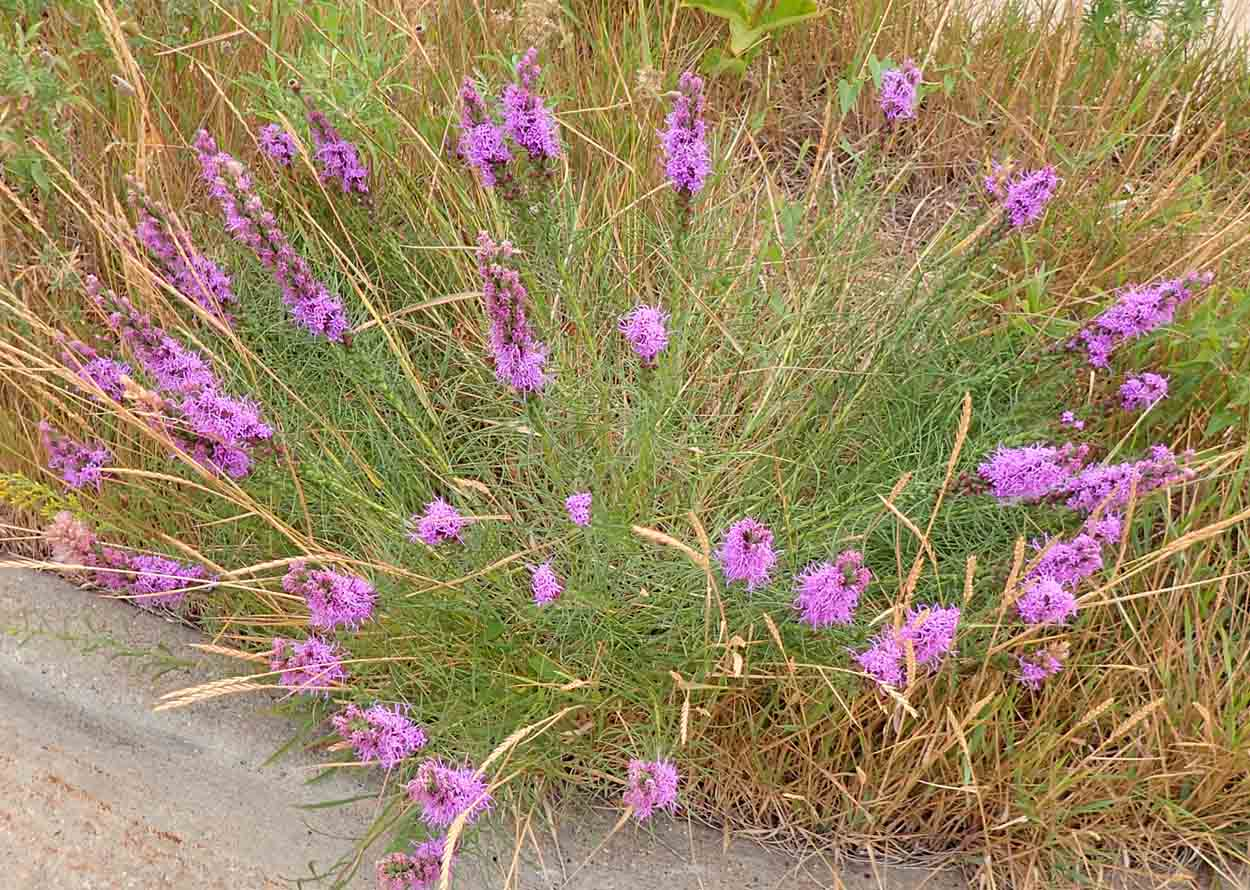 Click to enlarge Dotted Blazing Star (Liatris punctata)