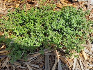 Click to enlarge Thyme (English)