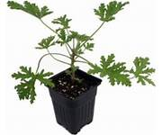 Click to enlarge Citronella Geranium