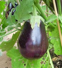 Click to enlarge Eggplant