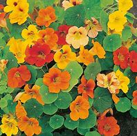 Click to enlarge Nasturtium Flowers