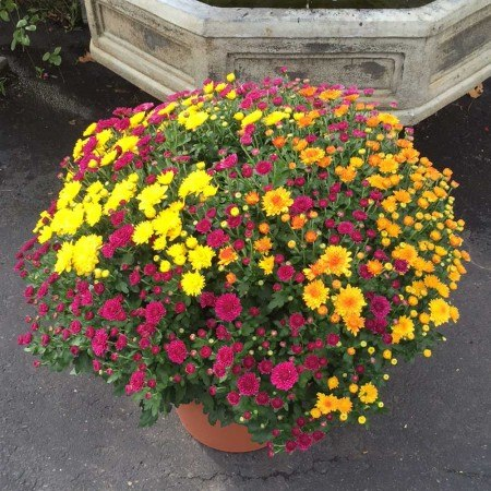 Click to enlarge XL Jumbo Fall Mums