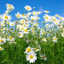 Click to enlarge Chamomile Plant