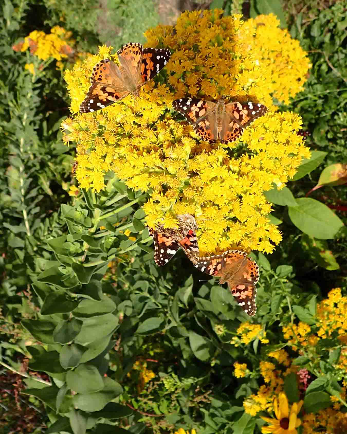 Click to enlarge Rigid Goldenrod (Oligoneuron rigidum)