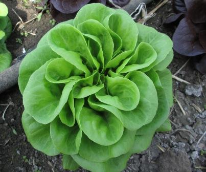 Click to enlarge Salanova Green lettuce rosettes