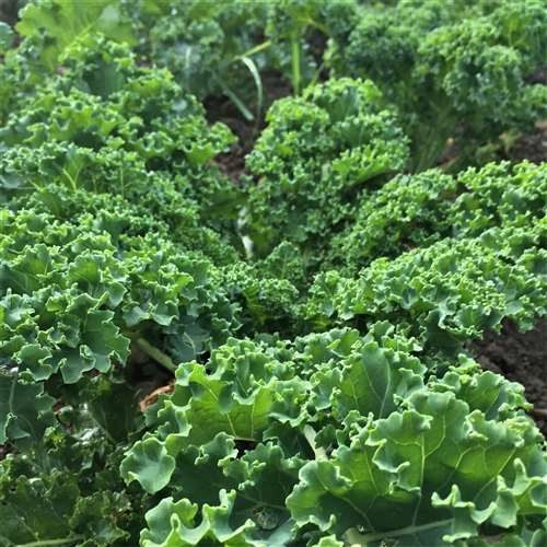 Click to enlarge Green Curly Leaf Kale