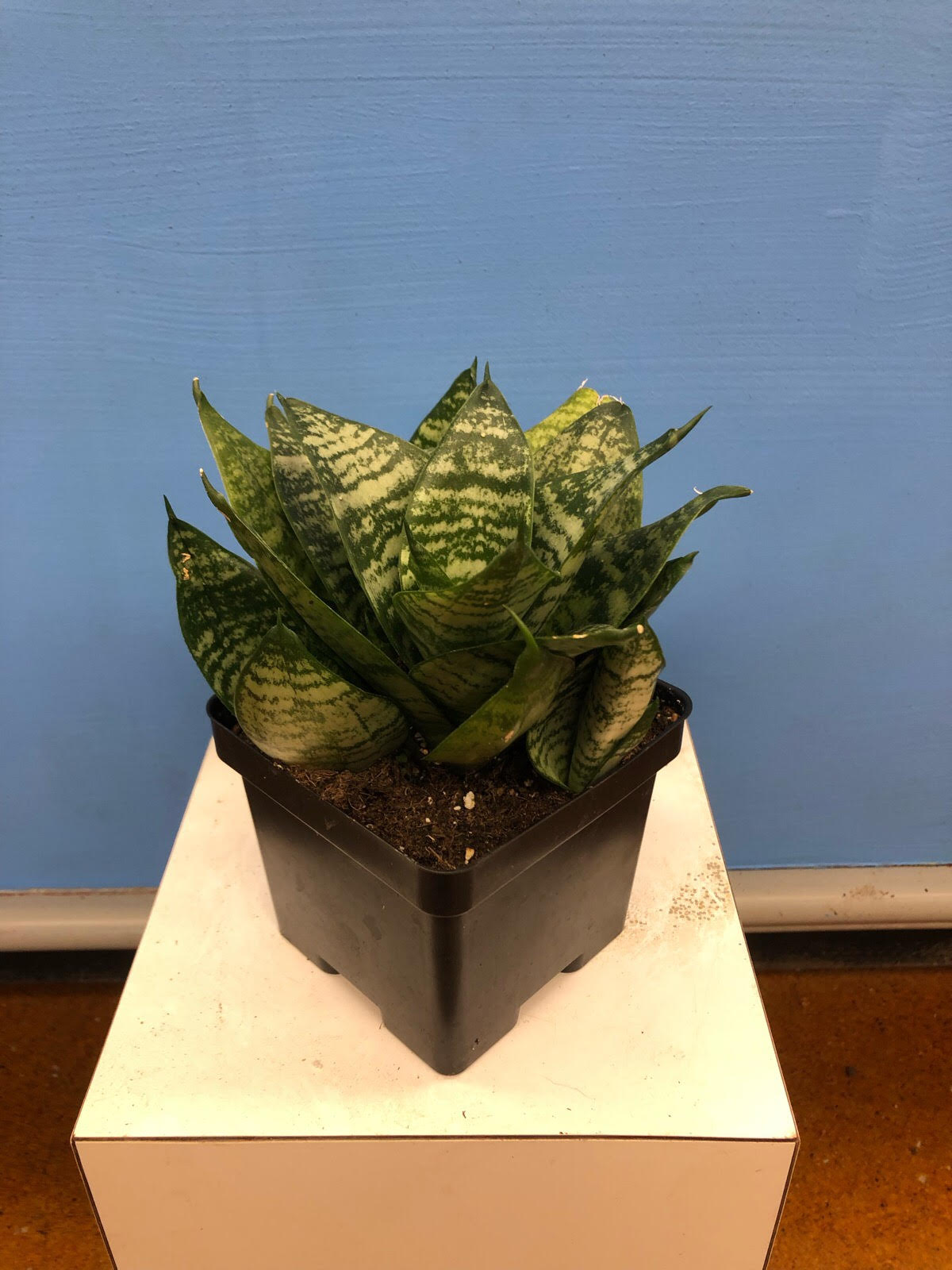 Click to enlarge Birds Nest Sansevieria