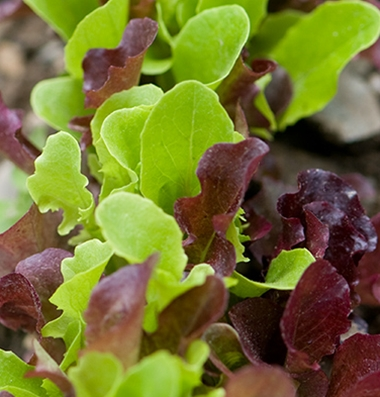 Click to enlarge Lettuce, Mix