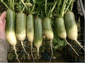 Click to enlarge Green Luobo Radish