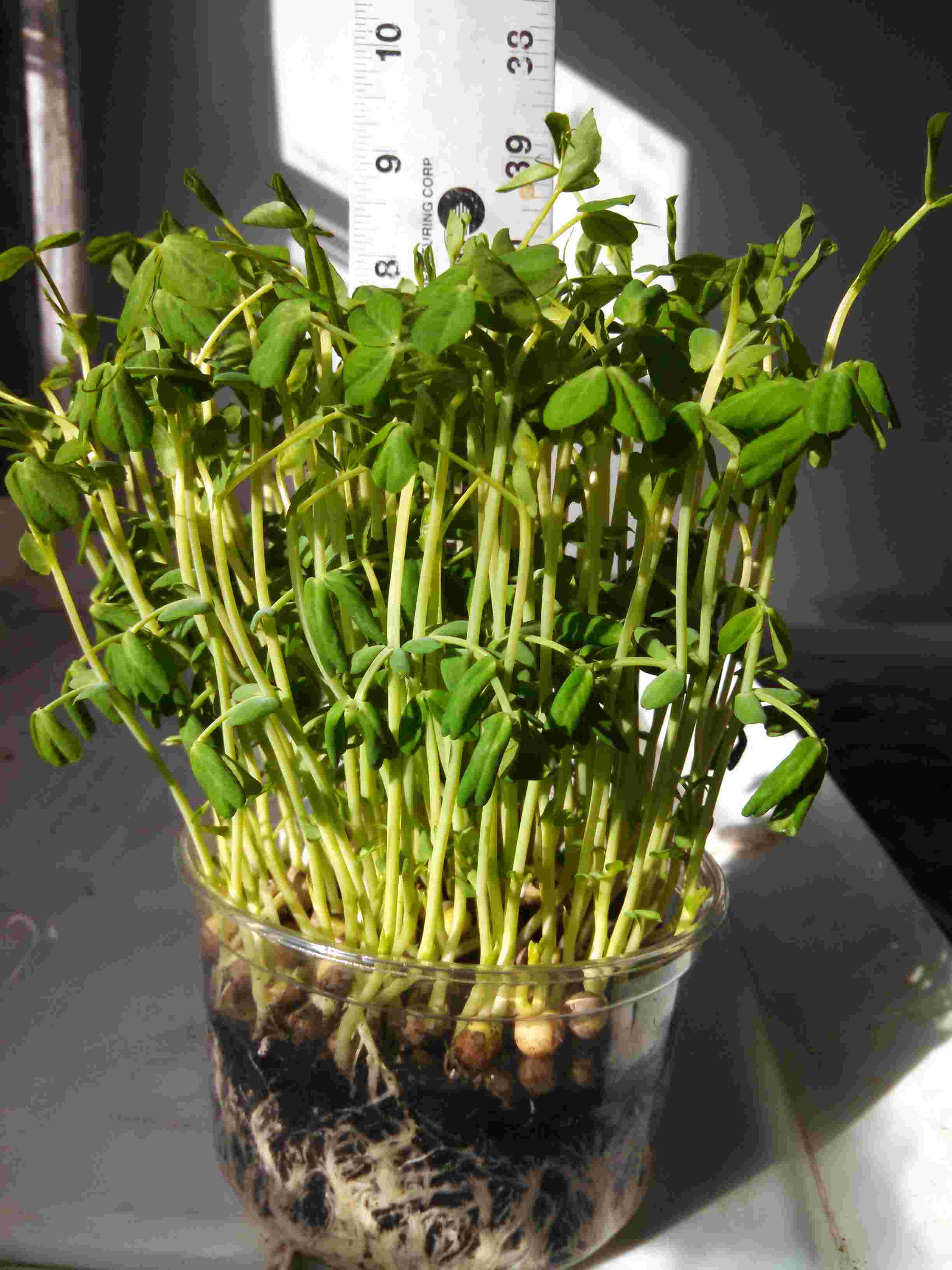 Click to enlarge  Sugar Pea Shoots