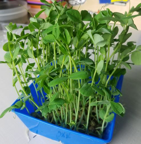 Click to enlarge Pea shoots