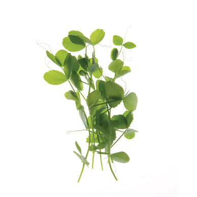 Click to enlarge field pea shoots