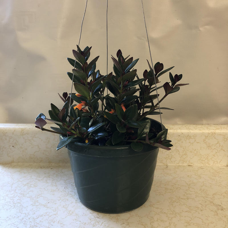 Click to enlarge Goldfish Plant Hanging Basket ON SALE
