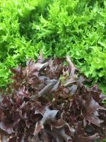 Click to enlarge Red & Green Frill Mix Lettuce