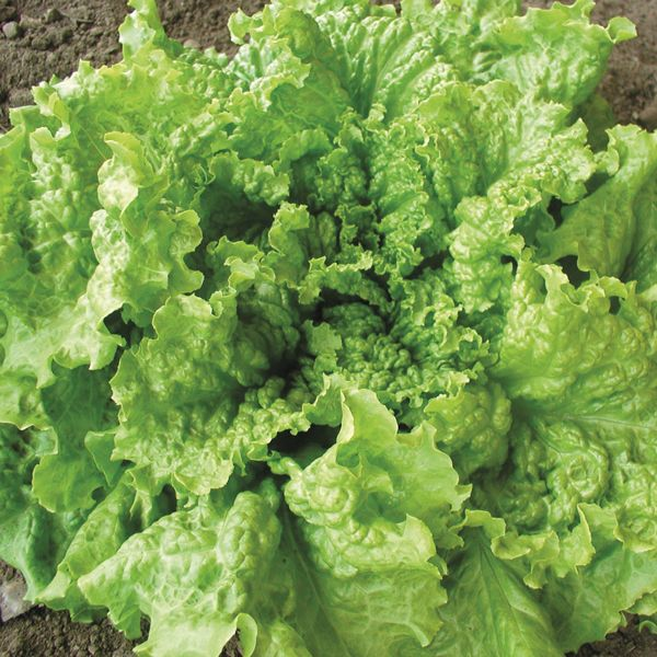 Click to enlarge Black Seeded Simpson Lettuce ON SALE