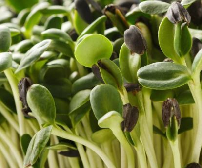 Click to enlarge Sunflower microgreens per oz.