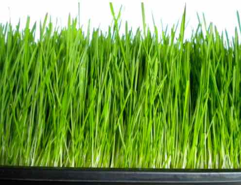Click to enlarge Fresh Organic Wheatgrass Live Flat