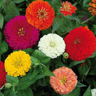 Click to enlarge Benary's Giant Zinnia Seed Packet