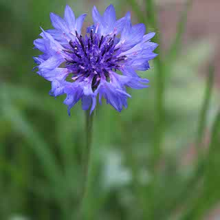Click to enlarge Blue Boy Bachelor's Button Seed Packet