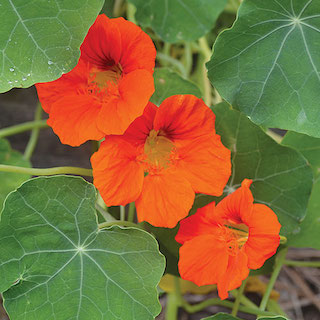 Click to enlarge Empress of India Nasturtium Seed Packet