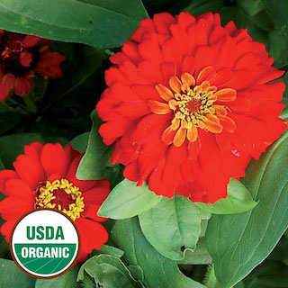 Click to enlarge Gift Zinnia Flower Seed Packet (Certified Organic)