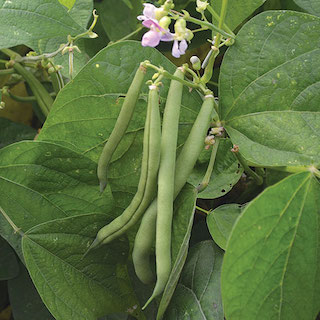 Click to enlarge Provider Green Bean Seed Packet