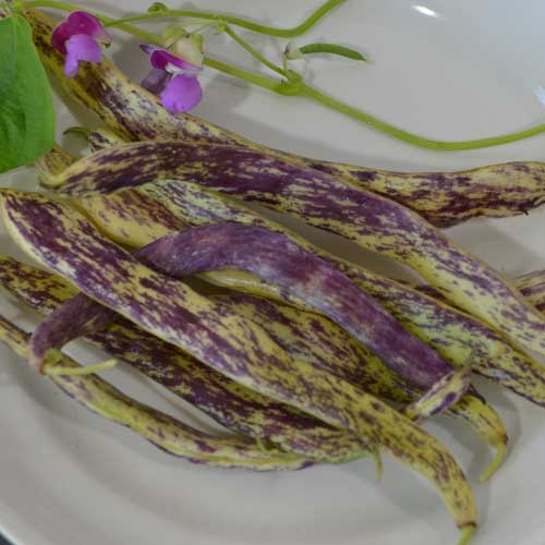 Click to enlarge Dragon's Tongue Beans Seed Packet