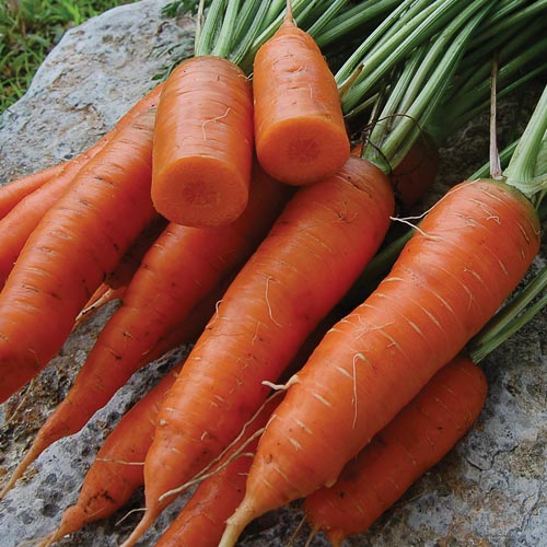 Click to enlarge Red Cored Chantenay Carrot Seed Packet