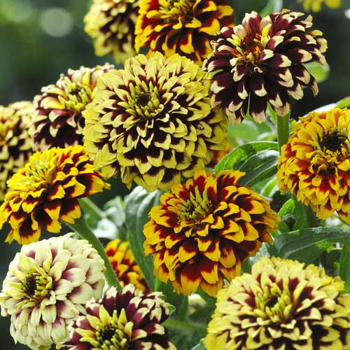 Click to enlarge Jazzy Mix Zinnia Flower Seed Packet